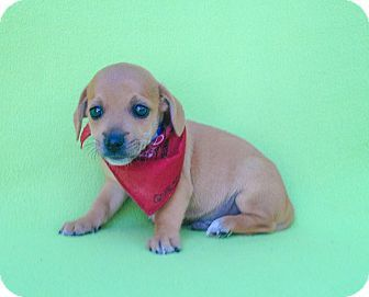 Burbank, CA - Dachshund Mix. Meet Quest, a puppy for adoption. http://www.adoptapet.com/pet/17046257-burbank-california-dachshund-mix