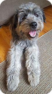 Washington, DC - Labradoodle Mix. Meet Gigi, a dog for adoption. http://www.adoptapet.com/pet/18146175-washington-dc-labradoodle-mix