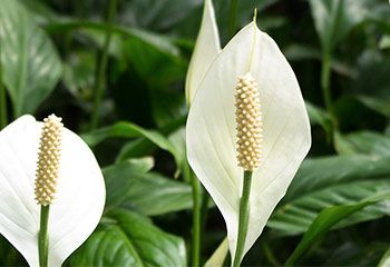 how to look after peace lily