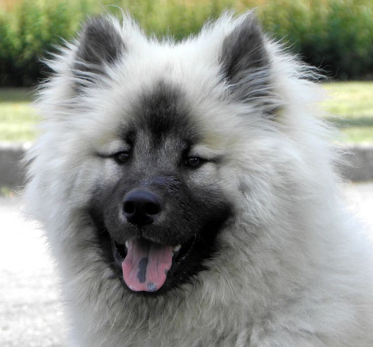 Eurasier || omg the markings on this one! what a beaut.