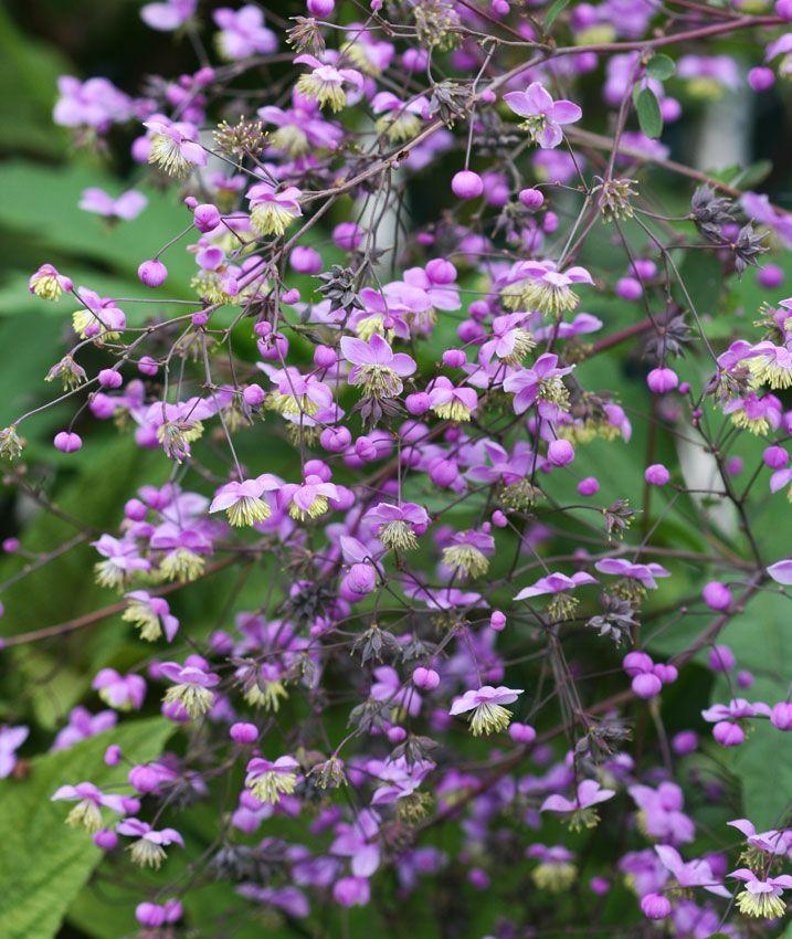 141 best sun perennials flowering shrubs for zone 4 images on pinterest sun perennials. Black Bedroom Furniture Sets. Home Design Ideas