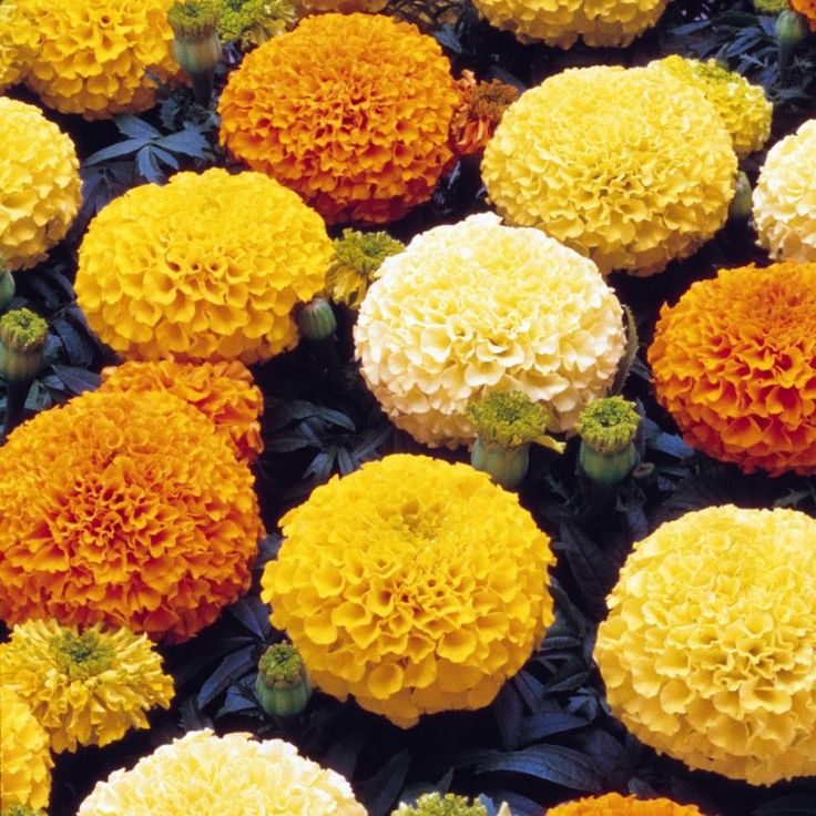 These African Marigold Marvel Mixed Plug Plants Bedding Plants produce compact plants and stunning blooms.
