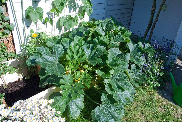 Hvis du vil have succes med at dyrke grøntsager, så kan det anbefales at starte med at vælge squash. De eksploderer nærmest i dit bed og giver en masse afkast. Pluk dem medens de endnu er små og sprøde, så kan de spises som snack.