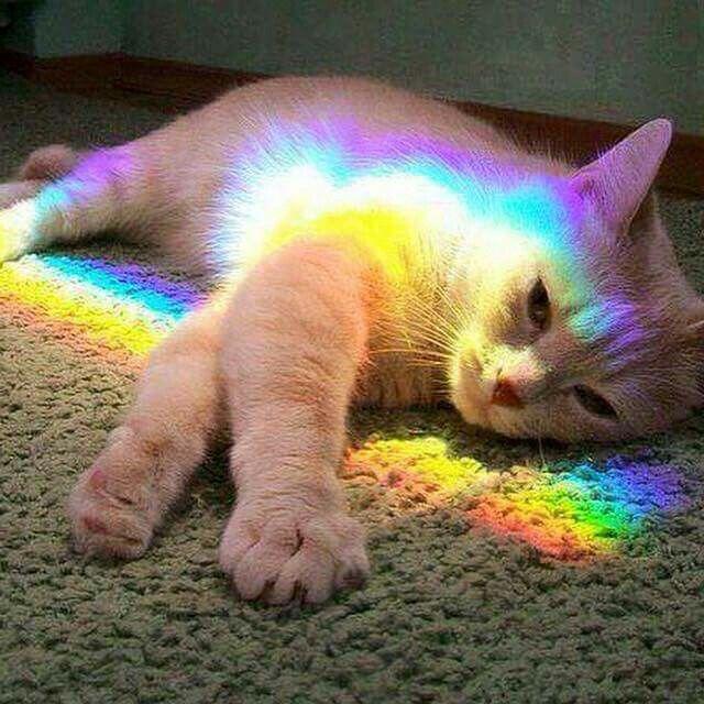 Cat in rainbow prism