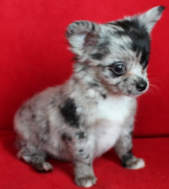 Long-Hair Merle Chihuahua