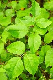 Image result for american forest plant