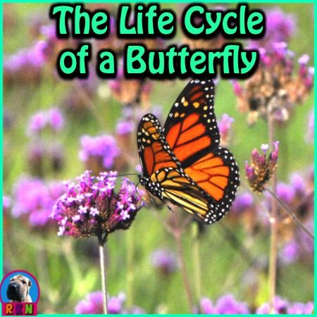 FREE:  The Life Cycle of a Butterfly: Butterfly Metamorphosis.   This FREE and dynamic PowerPoint Presentation illustrates and explains all four stages of a butterfly's life cycle. - Stage 1 - Egg - Stage 2 - Larva - Stage 3 - Pupa - Stage 4 - Adult -  It begins with a riddle and a brief explanation of what a life cycle is.   By Ryan Nygren (photo by Dwight Sipler at consumer.huawei.com/en/support/downloads/index.htm