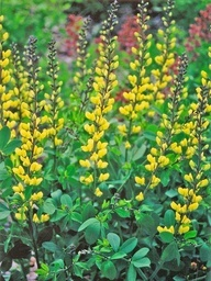 'Lemon Meringue' Baptisia