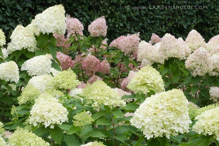 195 Best Images About Fantastic Flowering Shrubs On