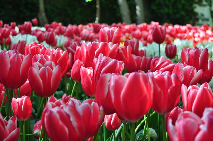 tulip 17