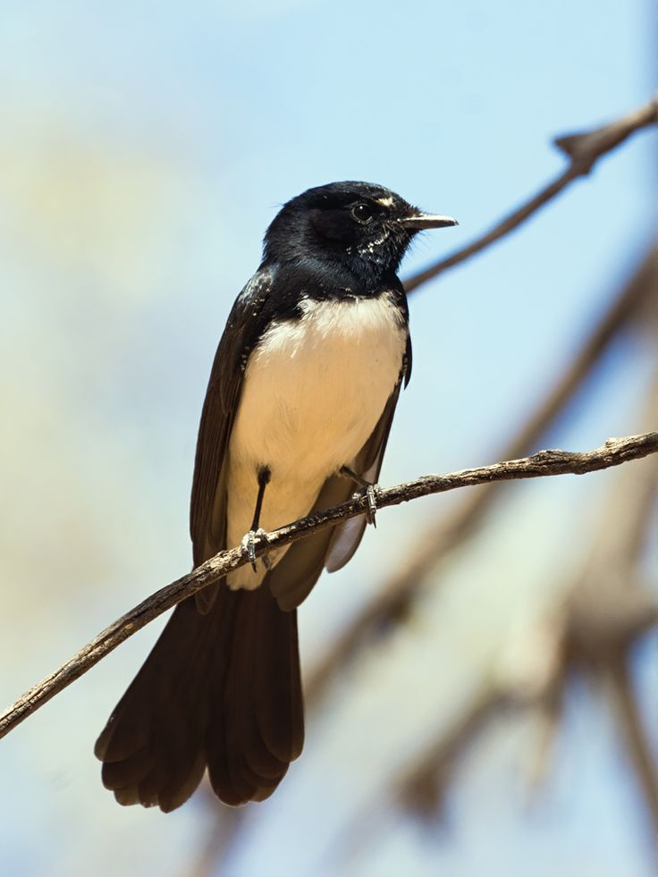 willie wagtail | Willie Wagtail (Rhipidura leucophrys) photo