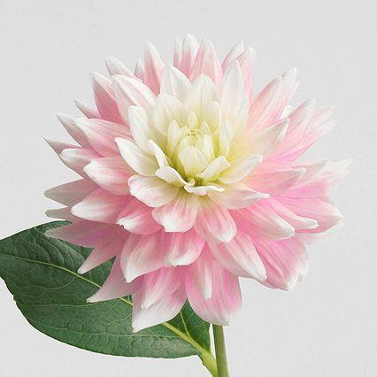 ダリア「ピンクダイヤモンド」 - Flower File 大田市場の花き仲卸 株式会社フローラルジャパン