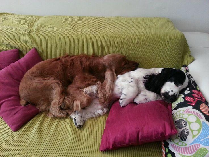 My English Cocker Spaniel GIOTTO & MARGOT (che sonno!!!)