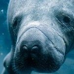 25 Manatee Facts That Show How Fascinating They Are
