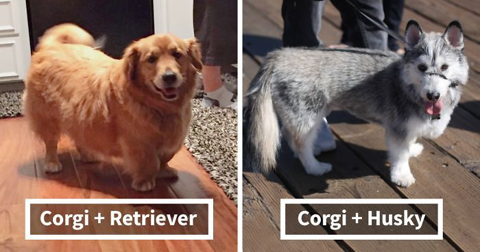 Ever wondered what you'd get if you crossed a Corgi with a Chihuahua? Ever seen a Corgi mixed with a Siberian Husky? Perhaps you've always dreamed of owning a Corgi crossed with a Beagle? Whatever type of Corgi mix you prefer, you're sure to find your favorite in this adorable list compiled by Bored Panda.