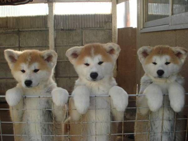 秋田犬とかいうパワー系日本犬wwwww : ハムスター速報