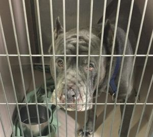 SAFE! || TO BE DESTROYED 05/11/16 **** BREED-SAVVY FOSTER/ADOPTER MUST WORK WITH A NEW HOPE RESCUE TONIGHT!**** Meet ARKIDIUS, a 4-year-old Cane Corso who was surrendered to the ACC on May 6th
