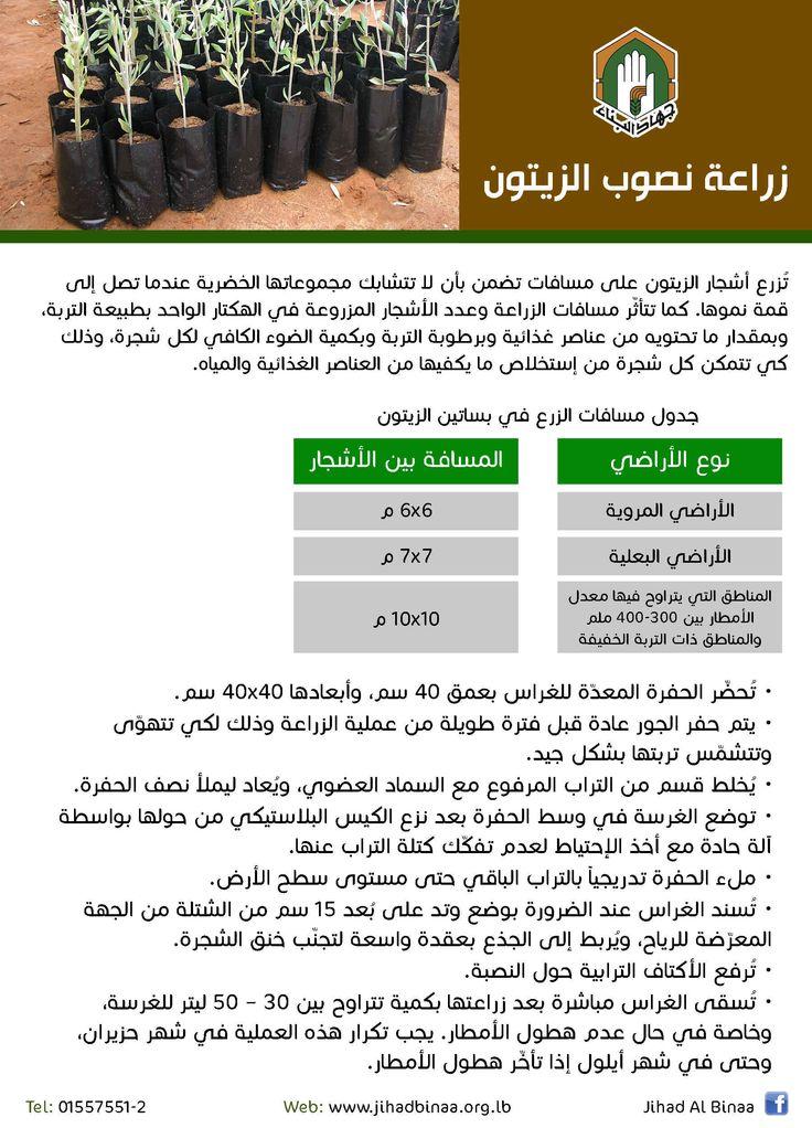 زراعة نصوب الزيتون #jihad_al_binaa
