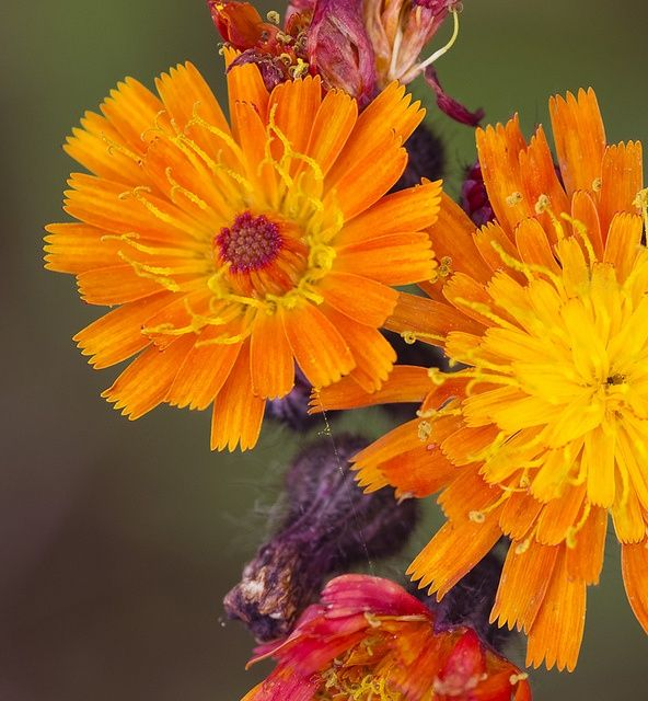 """...See Hieracium's various tribe, Of plumy seed and radiate flowers, The course of Time their blooms describe, And wake or sleep appointed hours.... ~Charlotte Turner Smith (1749–1806), """"The Horologe of the Fields"""" Addressed to a Young Lady, on seeing at the House of an Acquaintance a magnificent French Timepiece, published 1807   Hieracium aurantiacum [Asteraceae]"""