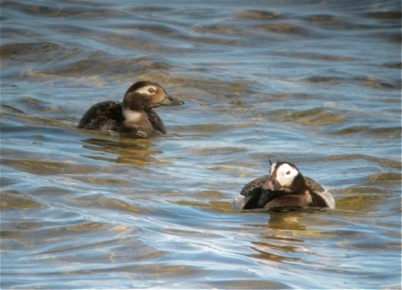 Long Tailed Ducks - 2012 & 2011 Churchill MBWeeks