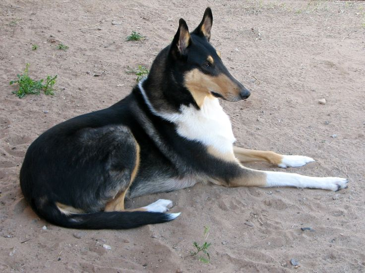 Dylan-TriColor Smooth Collie. Always keeping an eye on his flock (us!)