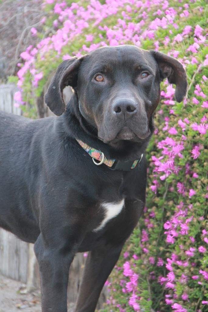 Duke (CP) is an adoptable Great Dane searching for a forever family near Pacifica, CA. Use Petfinder to find adoptable pets in your area.