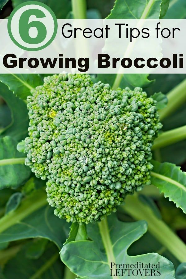 6 Great Tips for Growing Broccoli- Growing broccoli is rewarding and healthy. These gardening tips will help you grow your own thriving broccoli plants!