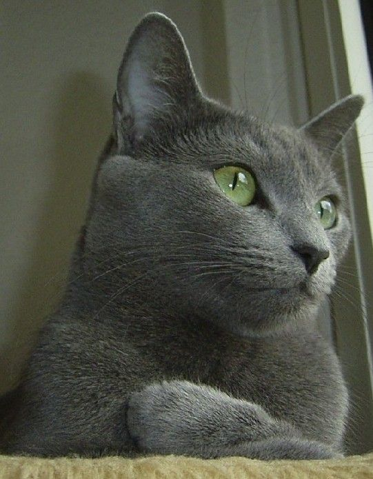 Russian Blue / Russisch Blau