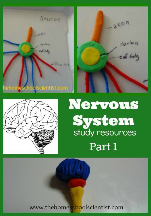 a study of the nervous system The nervous system is a complex, highly coordinated network of tissues that communicate via electro chemical signals it is responsible for receiving and processing information in the body and is divided into two main branches: the central nervous system and the peripheral nervous system the spinal .