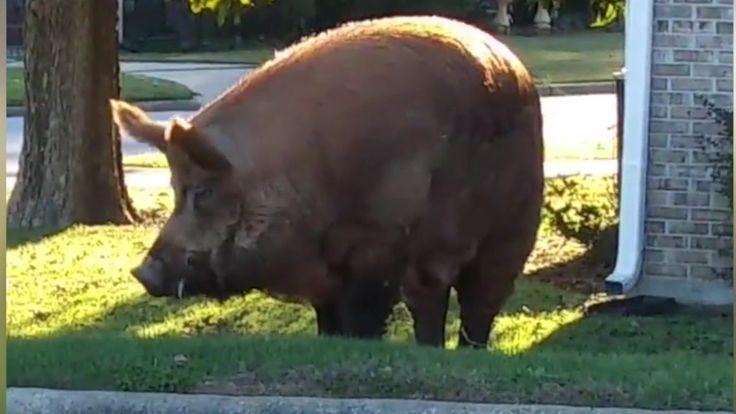 A huge hog is seen wandering a neighborhood in Phenix City, Alabama.