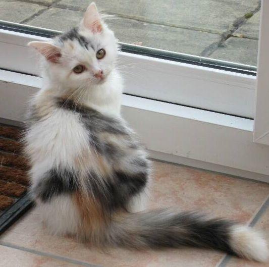 RagaMuffin Cats & RagaMuffin Kittens Shrewsbury, Shropshire, UK. Blue Colourpoint, Seal Colourpoint, Bi-Colour & Mitted