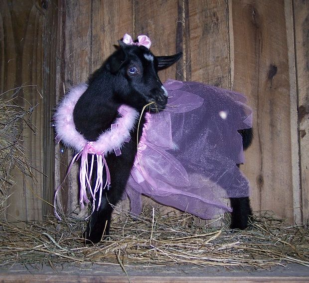 Funny Goat Pictures - Rose Lane Farm (Fainting Goats in Ky.)