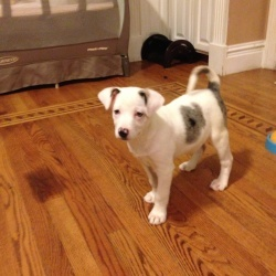 POLLY is an adoptable Australian Shepherd Dog in Arlington Heights, IL. MY ADOPTION FEE IS $350. I am in foster care in Richmond, IL. If you would like to adoptme, please fill out an adoption applica...
