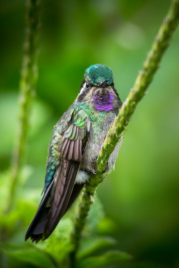 A male Purple-throated Mountain-gem Hummingbird perched on a flower -- photographed in the cloud forests of Costa Rica using a special