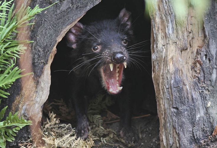 Diavolo della Tasmania