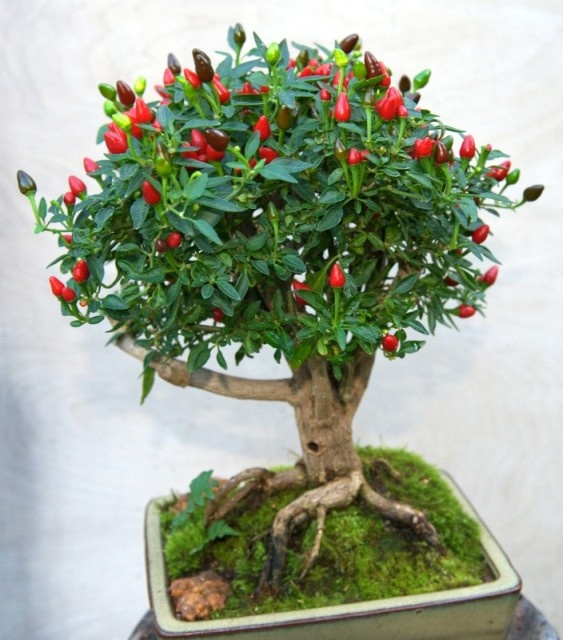 Bonchi=Bonzai /Chili plant - (Birds Eye Baby)