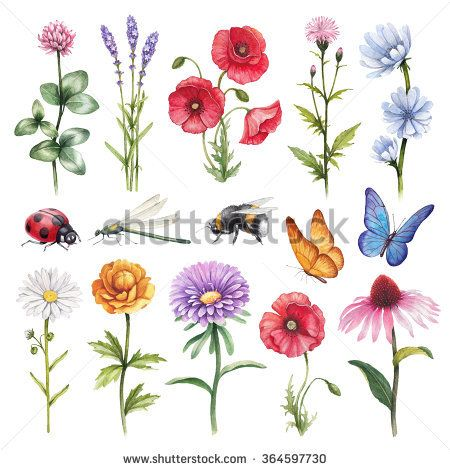 Watercolor illustrations of wild flowers and insect illustrations