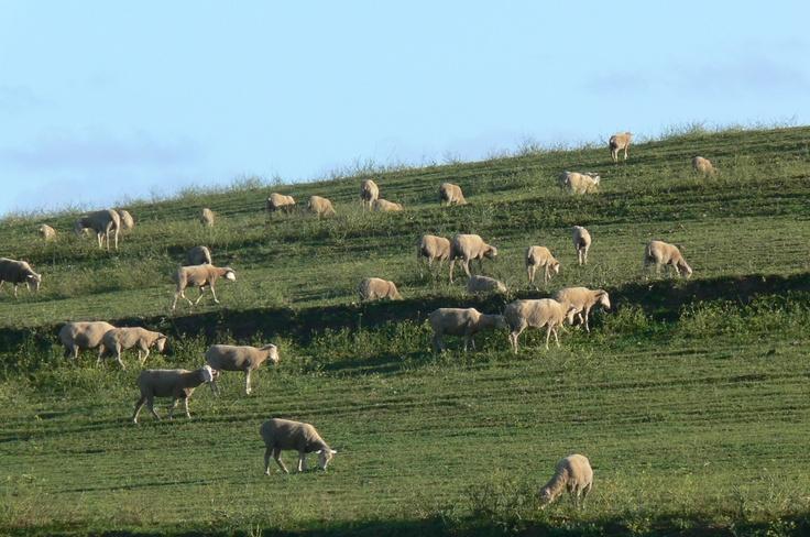 Sheep grazing - rolling hills