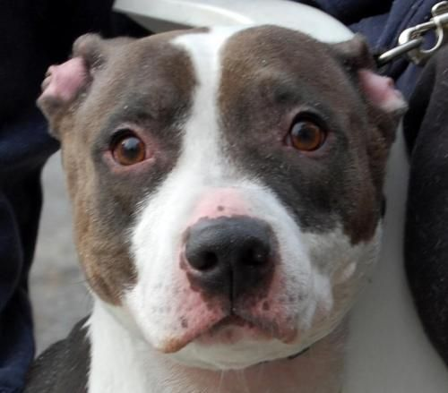 China  - ADOPTED! - Pit Bull Terrier • Adult • Female • Large • Dog • Sean Casey Animal Rescue Brooklyn, NY