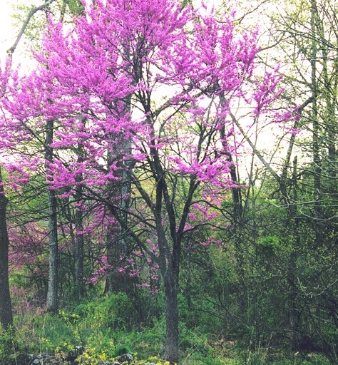Eastern Redbud. This is my favorite flowering tree. I had one at a former home and hope to find another. The delicate lavender blooms are such an unusual color and look beautiful in wooded areas.Gardens Ideas, Red Bud, Favorite Things, Eastern Redbud, Flower Trees, Beautiful, Front Yards, Redbud Trees, Favorite Flower