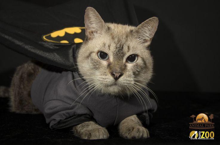 Algunas de las mascotas fotografiadas en las festividades del dia de los disfraces. Pacho es el nombre de este Batman. #fotozoo #kikecadena #fotografiademascotas