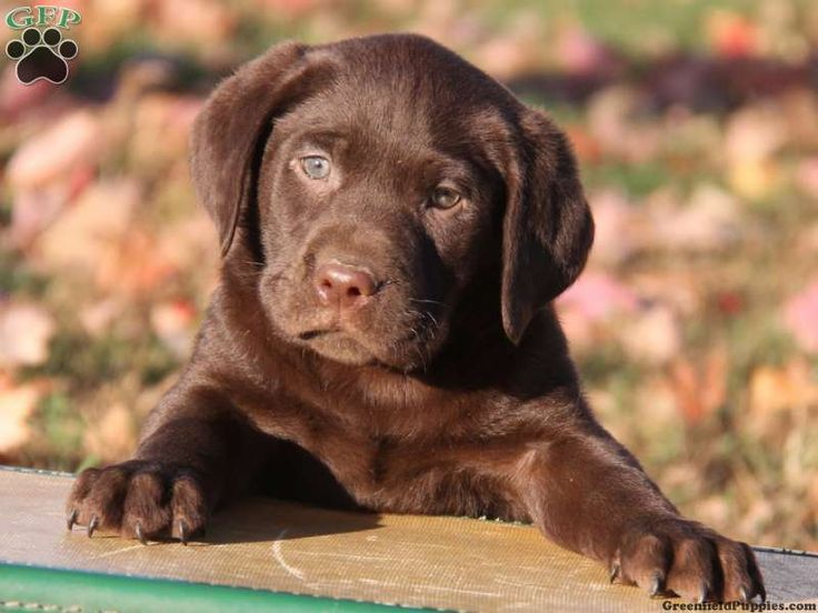 83 best Chocolate labs images on Pinterest | Chocolate labs ...