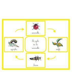 Le cycle de la coccinelle | Boutique ''documents Montessori''