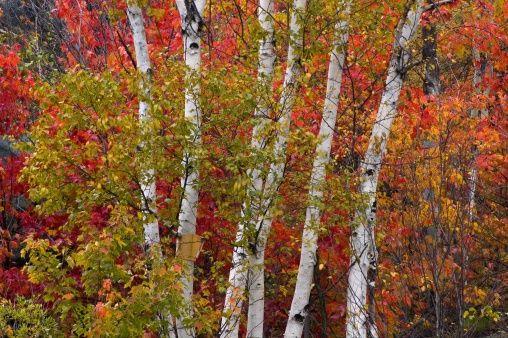 White birch (Betula papyrifera), multi-stem birch tree with maple in autumn. Simon Lake, Naughton, ON, Canada