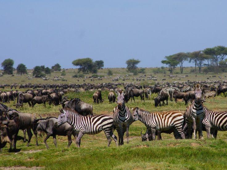 Wilderbeest-at-Serengeti
