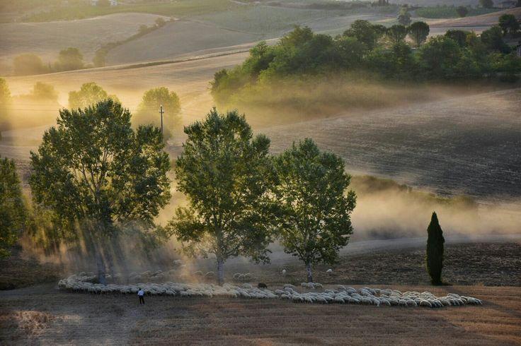 Sheeps in the sunrise close tu Lornano, Chianti. The bauty of Tuscany. Photo Luca Di Monte