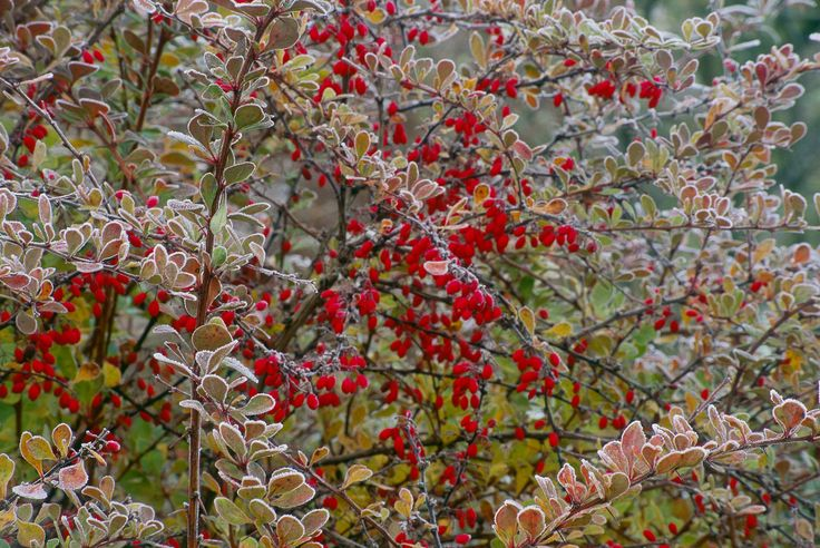 Japanese barberry shrub is a thorny bush with red berries. Berberis thunbergii 'Crimson Pygmy' is one type that has purple leaves.