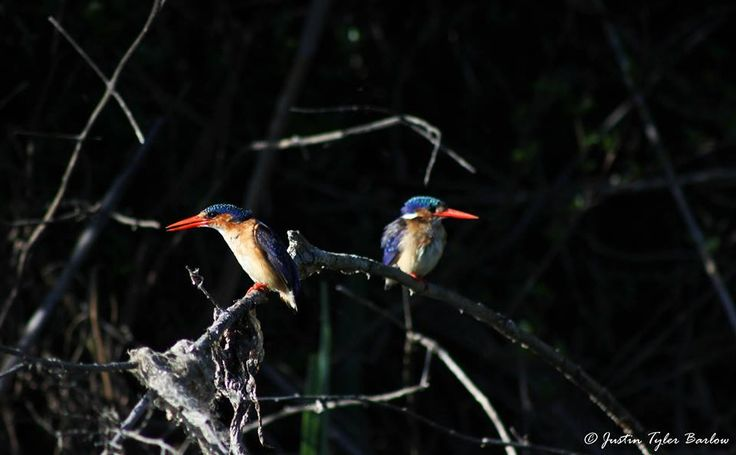 This gorgeous pair of Malachite Kingfishers were captured relaxing by the river on the Amakhala Game Reserve.  { Photo by: Justin Tyler Barlow Photography } #Amakhala #AfricanSafari #SouthAfrica
