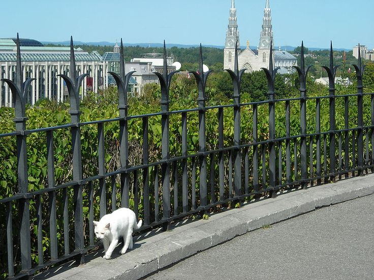 Thumbelina, one of the Canadian Parliamentary Cats, strolling on the hill. Behind one can see the National Gallery of Canada and Notre-Dame Cathedral.