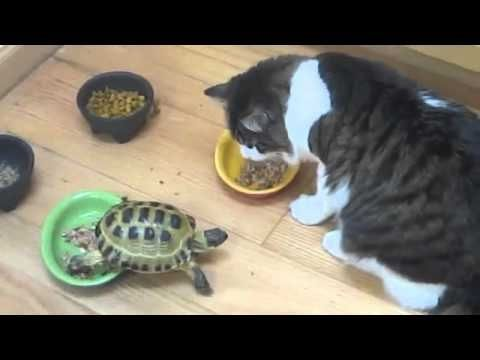 This is the second video that I've seen of a Tortoise attacking cats!!! I think this makes a compelling case for Attack Tortoises, lol.